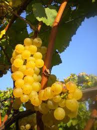 Violetti Weine Traubensorte Chardonnay