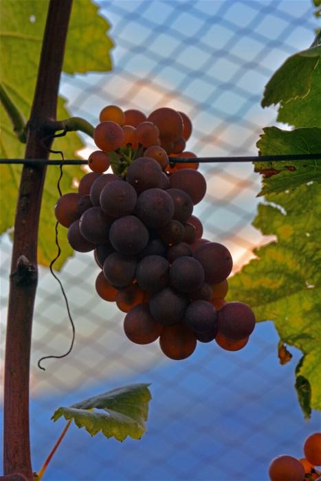 Violetti Weine Traubensorte Pinot Gris